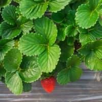 verse aardbeibladeren (20 kg)