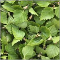 feuilles de bouleau fraîches (20 kg)